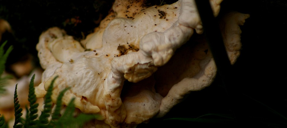 chicken-of-woods