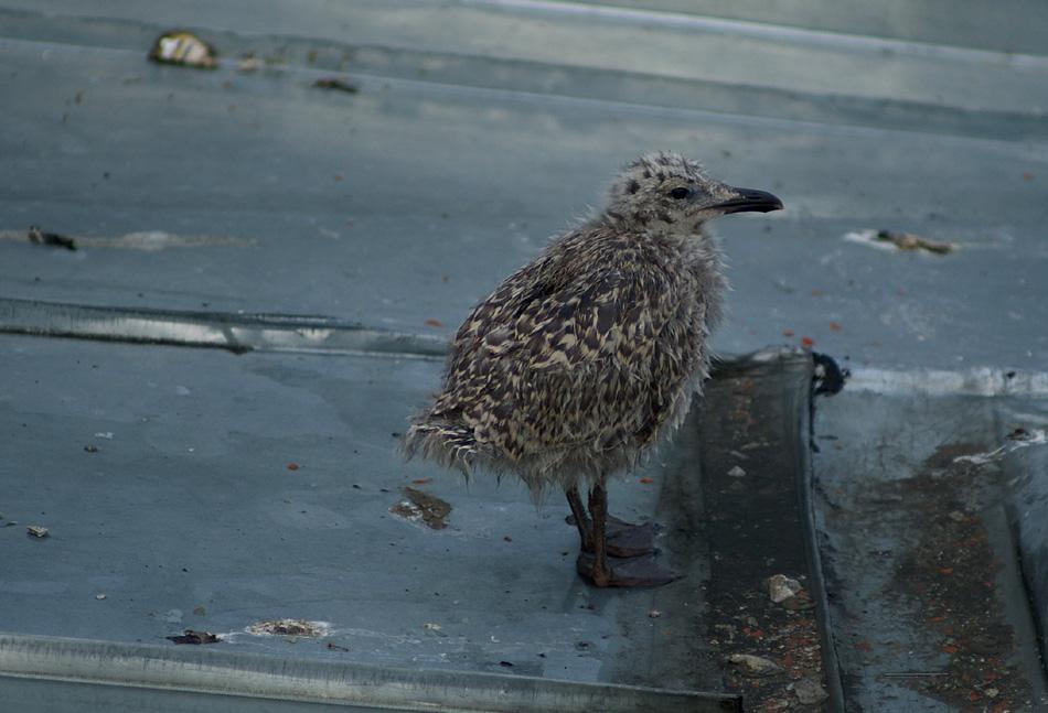 The Domestic Soundscape » Archive » baby-seagull