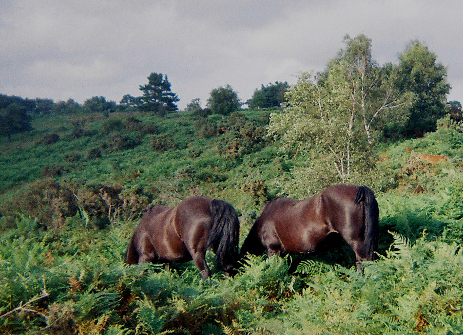 21-newforest-ponies