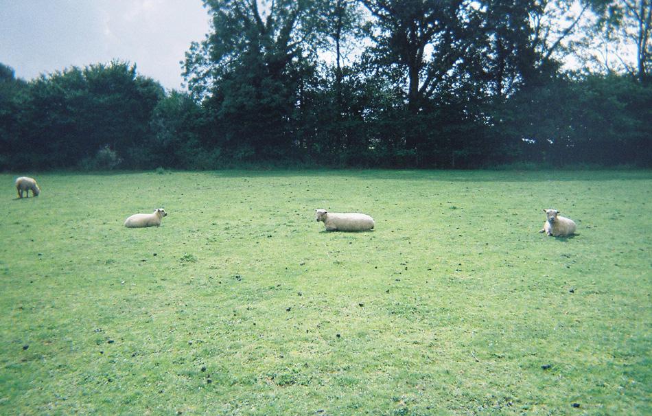 34-walk-2012-sheep