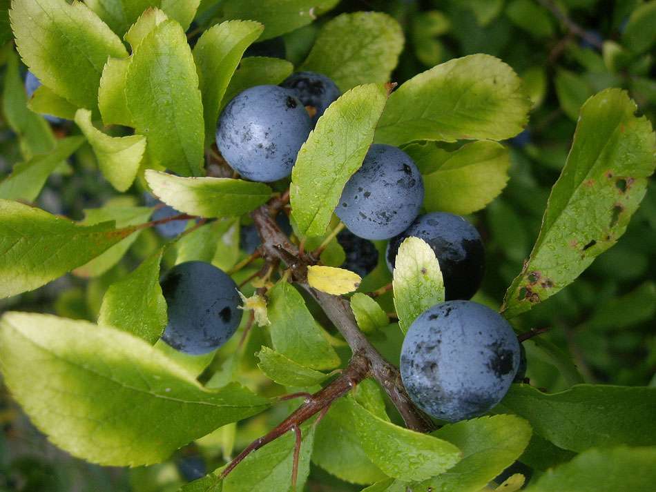 03-sloes