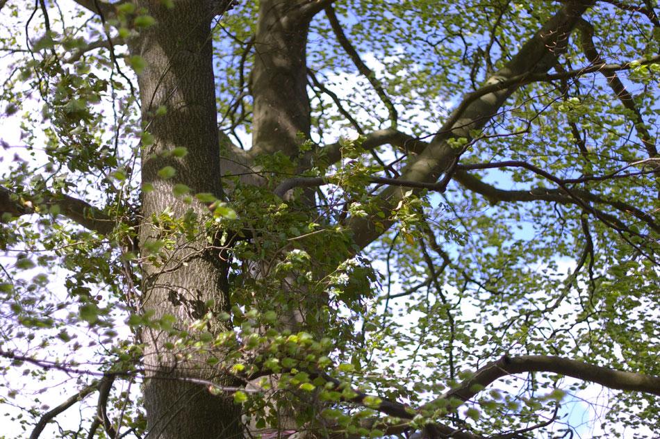 07-beech-tree