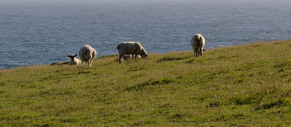 05_St_Ninians_sheep